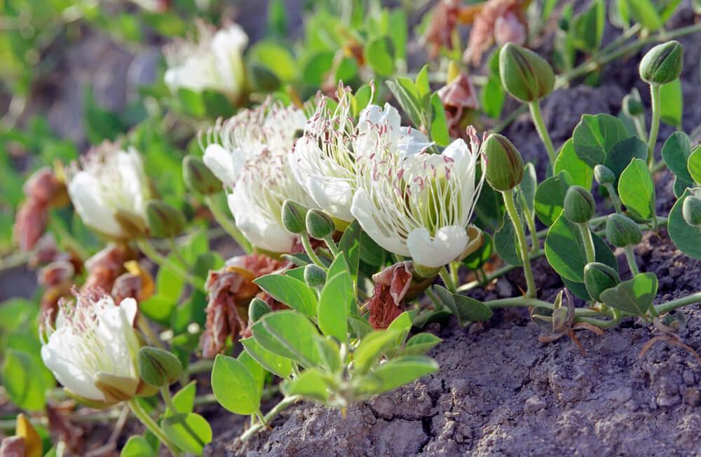 ケッパーの花
